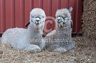 Twee Alpaca's in het stro