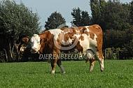 Fleckvieh koeien