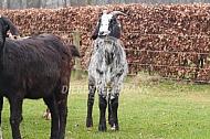 Kruising Landgeit en nubische geit