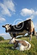 Witrik koe met kalf