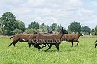 Rennende zwartbles schapen