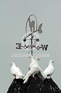Witte duiven op duiventil