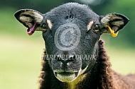 Badger Face Welsh Mountain schapen (torwen)