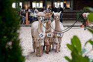 Drie Alpaca tijdens de alpacashow