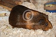 Cavia binnen op houtvezel