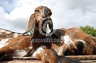 Nubische geiten