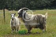 Nederlandse Landgeit bok en geit