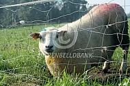 Schaap met schapengaas