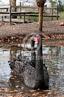 Zwarte zwanen op het water