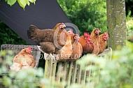 Kippen rusten uit op de bank