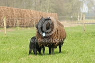 Black Welsh Mountain schapen
