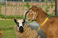 Kerry hill schaal met Nubische geit