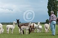 Alpacafokker inspecteerd zijn kudde