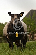 Blauwe Texelaar