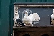 Pauwstaartje met oud-Hollandse meeuw