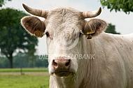 Charolais koe met horens
