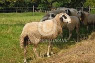 Brilschaap