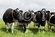 Fries Hollandse koeien
