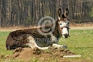 Liggende ezel op een bult