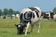 Grazend fries Hollandse koeien