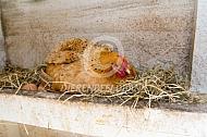 Kip legt een ei in legnest