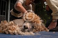 Scheren van Alpaca's