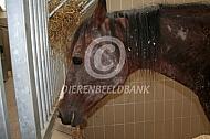 Schimmelinfectie bij paard