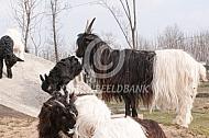 Wallische geit met lam