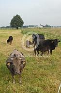 Dahomey runderen