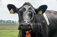Fries Hollandse koe van 15 jaar
