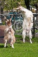 Bokkende Girgentana geiten