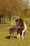 Shetlander pony met veulen