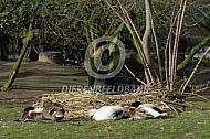 Zwarte zwaan op haar nest