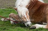 Paard komt uit narcose