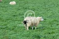 Coccidiose bij een schaap