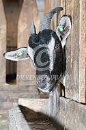 Poitevine geit bij voorgoot
