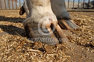 Klauwen van een koe