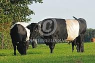 Lakenvelder stier met koe