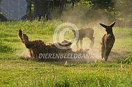 Rollende Poitou ezel met veulens
