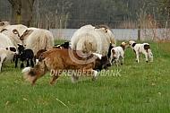 Drentse heideschapen