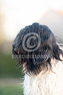 Portret Nederlandse schapendoes