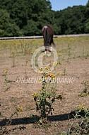 Paard met jacobskruiskruid
