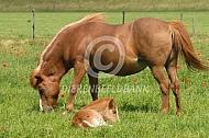IJslander paard met veulen