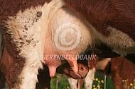 Brandrood kalf drinkt bij de koe