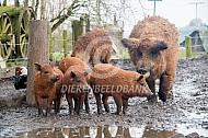 Hongaars wolvarken met biggen