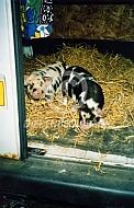 Biggen van het Kunekune varken op transport