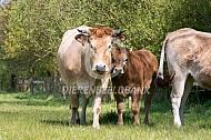 Marachine koe met kalf