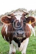 Fries roodbont vee