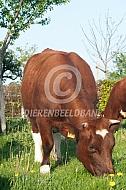 Grazende brandrode koe
