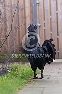 Ayam Cemani haan